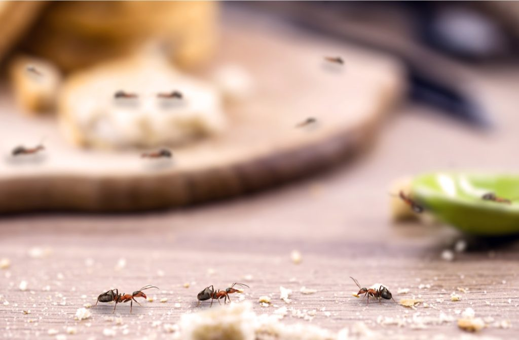 Ants carrying leftover breadcrumbs on the kitchen counter with blurred background
