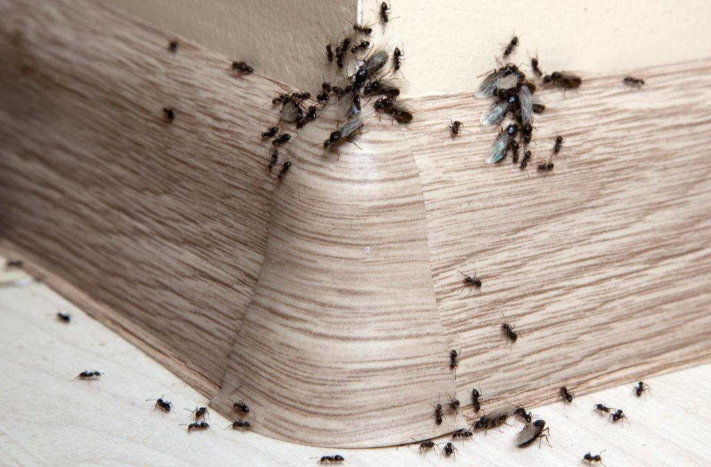 Ants on baseboard and wall of house