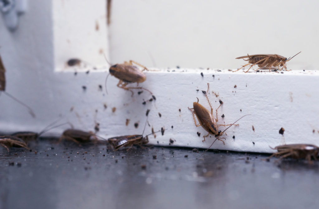 Lots of cockroaches sitting on a white wooden shelf